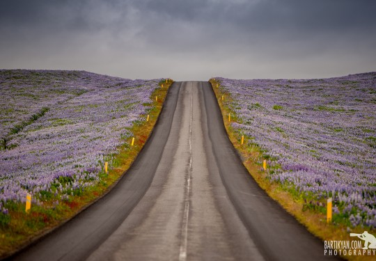 Lupin Flower Fields along Icelandic roads